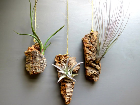 Vertical garden with 3 exotic air plants by for Air plant decoration