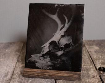 Wet Plate Collodion Photography - Deer Skulls - Original - Tintype