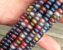 Glass Gem Cherokee Indian Corn 20 Seed Pack  The Most Beautiful Corn in the World