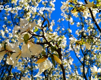 Blossoming tree- Fine Art Photography - Digital photography download, flower photography, nature photography, white flowers, spring photo