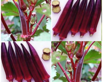 50 x RED BURGUNDY Okra seeds ~ TURNS Green When Cooked - 5' tall ornamental tender pod - 60 Days