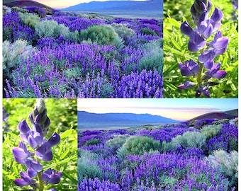 50 x Sweet Blue Lupine Seed - Lupinus angustifolius - Gorgeous Annual Blue Lupine For FOOD PLOT LEGUME - For Deer, Turkey, Pheasant, Rabbit