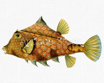 Vintage Fish Illustration - Humpback Turretfish - Digital Download for Decoupage, Altered Art, Collages, Card Making, Graphic Design...