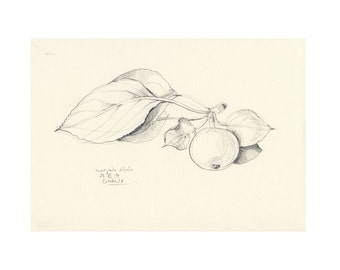 Apples drawing #3 - PRINT of apple pencil drawing - Apple line pencil drawing - Botanical art print by Catalina S.A