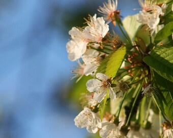 Flower Blooming Spring Series Fine Art Photograph (Toronto ON) 5x5