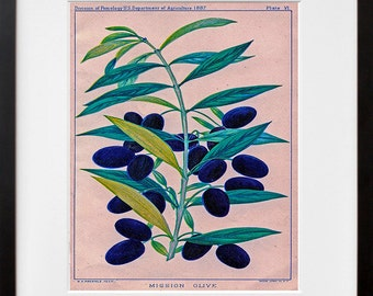 Olives Kitchen Wall Art Botanical Print