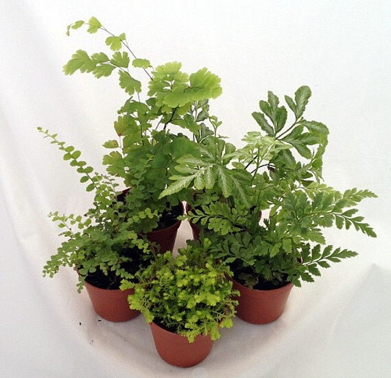 Mini ferns for terrariums fairy garden group of 5 by hirtsgardens - Fairy garden containers for sale ...