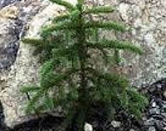 "12"" Blue Spruce Seedlings 10 pack"