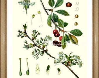 "Botanical Print. Cherry. Fruit Prints. Cherry Wall Art, Prunus cerasus. Cherry Print 5x7"", 8x10,"" 11x14"""