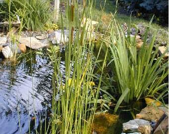 1 mini/dwarf Cattail Koi Pond/Bog/Water garden Plants