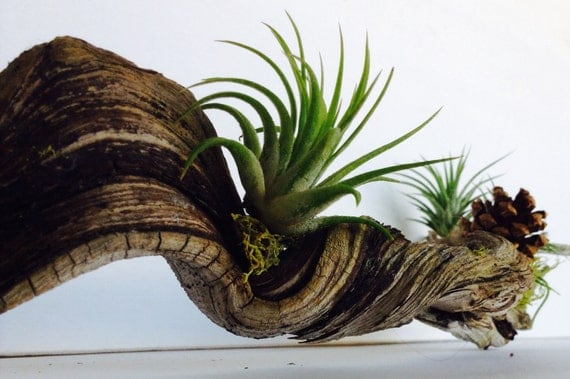 Sample driftwood with airplants and green moss details living for Air plant art