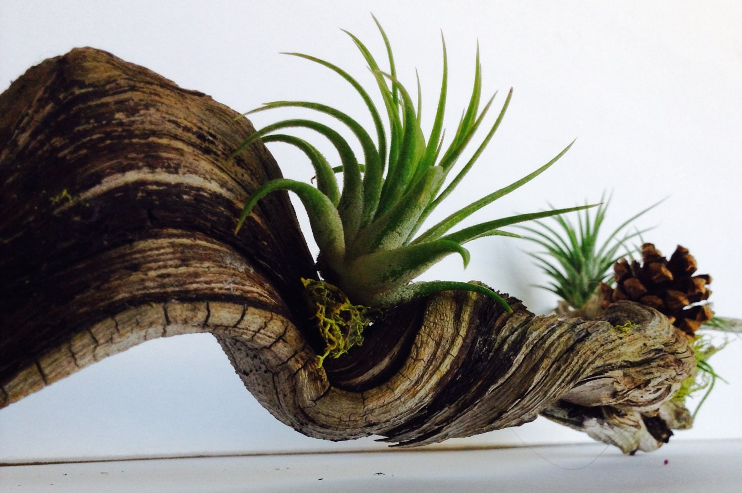 Sample driftwood with airplants and green moss details living for Air plant decoration