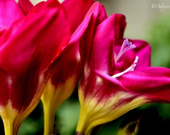 Freesia Blossoms