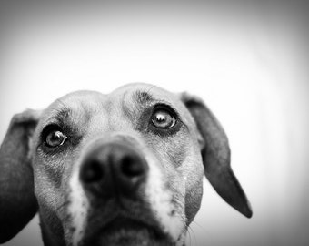 The look - Black and white dog photography photo print