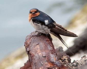Welcome Swallow, Australia, Birds, Wall Art, Nature Photography,
