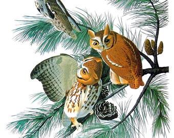 Screech Owl 1979 Vintage Audubon Bird Print Book Plate