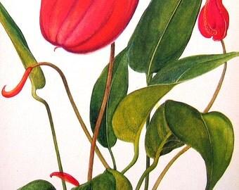1968 Vintage Flowers Book Plate Anthurium p30