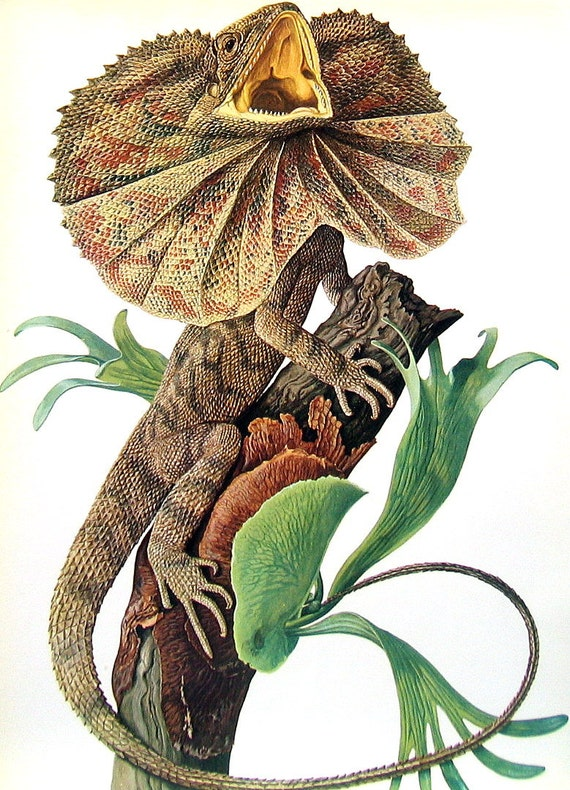 Reptile Print - Frilled Lizard, Bush Lizard, Knight Anole, Collared Lizard, Horned Lizard -  2 Sided 1973 Encyclopedia Book Page