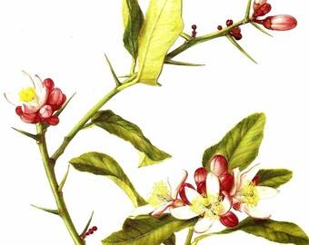 Vintage Flower Print - Botanical Print - Citron Plant - Citron Fruit Tree - The Language of Flowers - Flower Wall Art - Marilena Pistoia