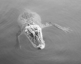 Alligator Photography Wall Art 8x10 Animal Photography Fine Art Home Decor Nature Black and White Photography