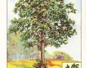 1926 Botany Print - White Oak Tree - Vintage Antique Book Art Illustration Nature Natural Science Great for Framing
