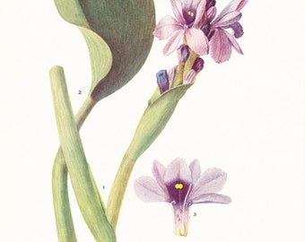 1917 Botany Print - Piaropus Azureus - Vintage Antique Flower Art Illustration Book Plate for Framing