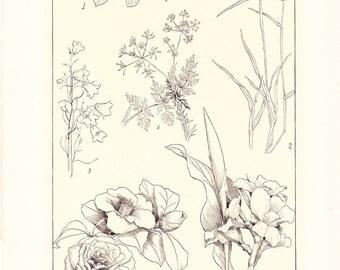1903 Botany Print - Camellia - Vintage Antique Art Illustration Book Plate Natural Science Great for Framing 100 Years Old
