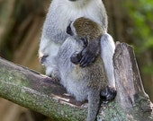 Vervet Monkey and Baby.