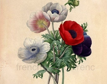 antique french botanical illustration red and pink anemones DIGITAL DOWNLOAD