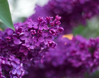 dark lilacs photo print