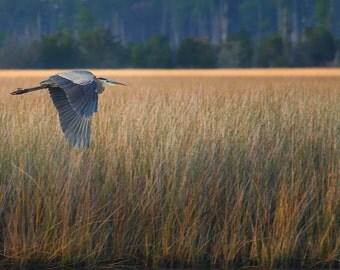 Blue Heron in Flight at the Ocean  Panoramic 10x20 Fine Art Print