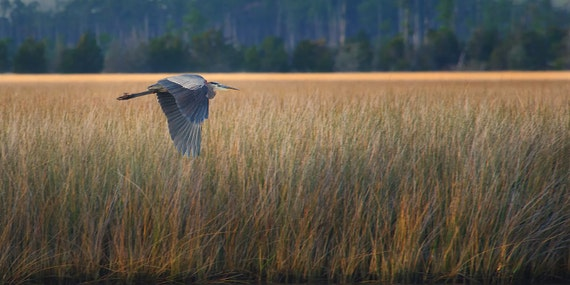 Blue Heron in Flight at the Ocean  Panoramic 10x20 Fine Art Print