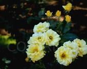 Yellow Roses Garden Botanical Photography Photo Romantic
