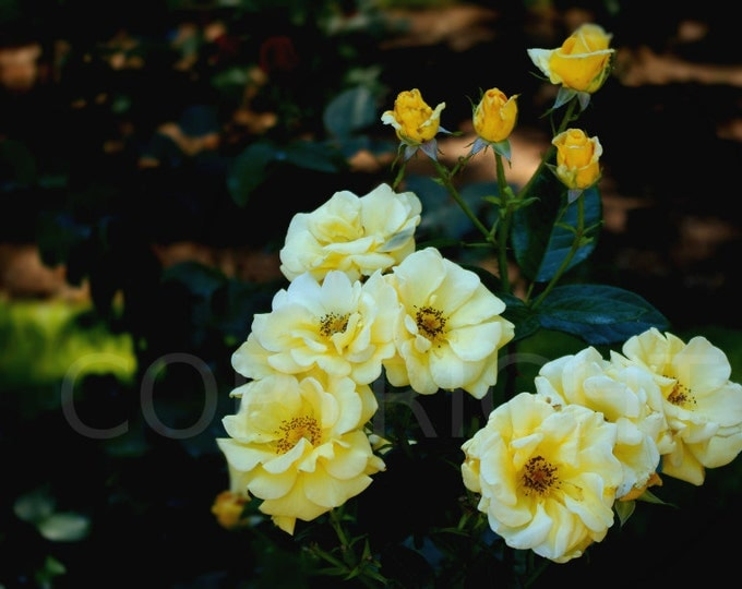 Yellow Roses Print, Yellow Roses Greeting Card, Flower Garden, Botanical, Photography, Romantic, Wall Art, Home Decor, Gift Idea, Blank Card