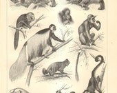 1908 Old World Monkeys and New World Monkeys Original Antique Engraving to Frame