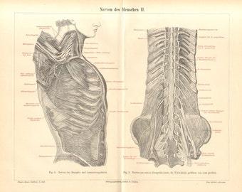 1896 Nervous System of the Human Body, Nerves of the Trunk, Brachial Plexus and Vertebral Column Original Antique Engraving