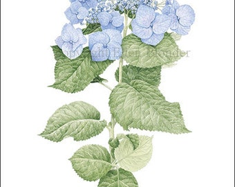 Hydrangea, Small Giclee Print