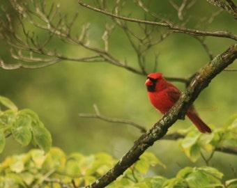 Beautiful Male Cardinal