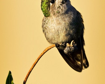 5x7 photo portrait of a hummingbird, female Anna Hummingbird, humming bird, green feathers, leaves, pale yellow