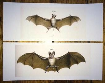set of 2 bats by fitzinger glorious creepy nature print no. 1 & 2