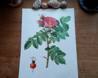 "Large 15"" RED KAMCHATKA ROSE Vintage Botanical Print Antique flowers, plant botanical print, bookplate art print, pink plants plant wall"