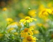 Yellow Daisy photo, wildflower, meadow, prairie, 8x10 art print, botanical art, fields, summer, fall, wall decor, flower plant lover