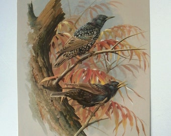 Vintage Bird Book Plate Page of Starling printed 1965 Illustration