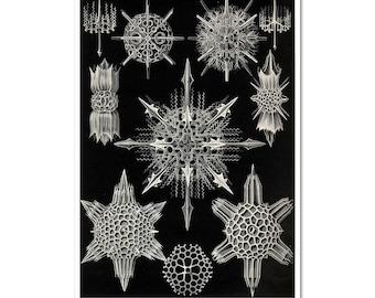 Ernst Haeckel Print, Haeckel Print, Cellular Art, Scientific Illustration, Art Nouveau Print, Educational, Biology, Science Print, Poster