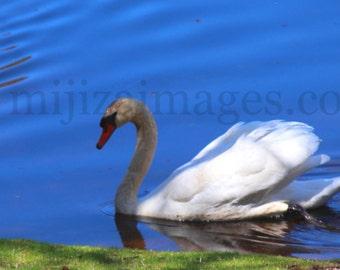 Swan on Pond Hyannis Port Cape Cod