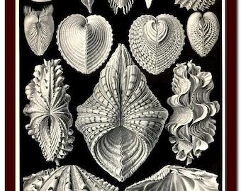 Print Vintage Natural History  Art Print: Ernst Haeckel  Scientific Illustration Art Print