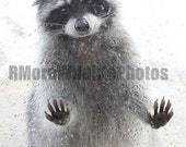 Raggedy Ears the Raccoon photo 8X10 inches