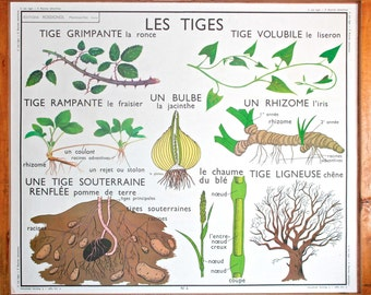 RARE - Botanical - Vintage - Large stunning French School Poster ROSSIGNOL - double-sided. Adventitious roots - Stems