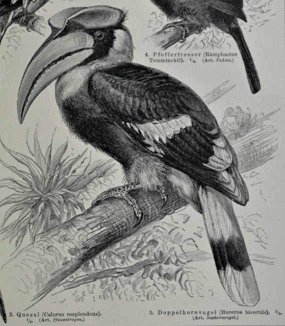 Birds. Toucan.Ornithology print.Natural history engraving. Old book plate, 1897. Antique illustration. 117 years lithograph. 6 x 9'2 inches.