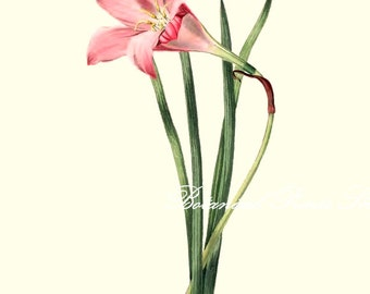 "Botanical Print. Amaryllis #1. Flower Prints. Floral Wall Art,  8x10"" 11x14"""